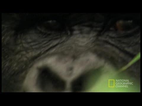 Webby Award Nominee - Who Murdered the Virunga Gorillas?