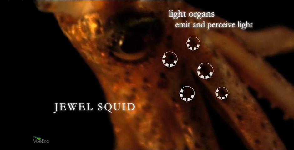 Nominee - Piglet Squid, Other Bizarre Species Found